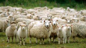 National Lamb Feeders Association (NLFA) Adalah Organisasi Non-Profit